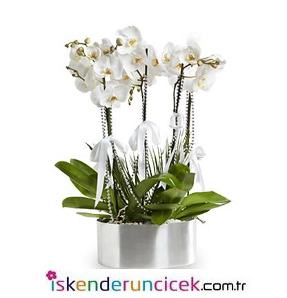 6 Dal Beyaz Phalaenopsis Orkide
