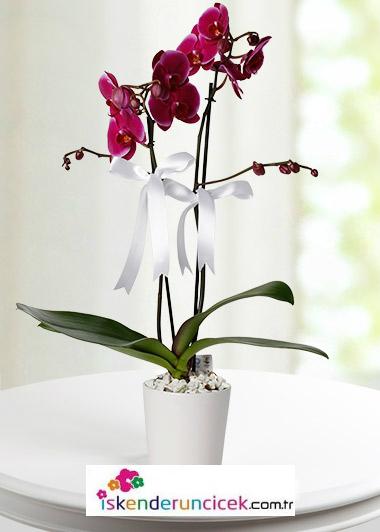 2 li Mor Orkide